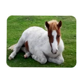 Wild Foals on Bodmin Moor Cornwall England Flexible Magnets