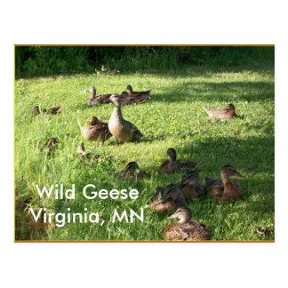 Wild Geese Postcard