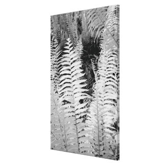 Wild giant leather fern, Florida, USA. Canvas Print