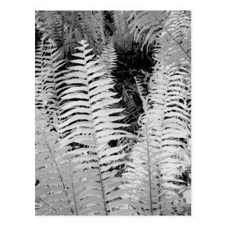 Wild giant leather fern, Florida, USA. Postcard