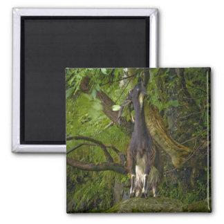 Wild Goat Magnet