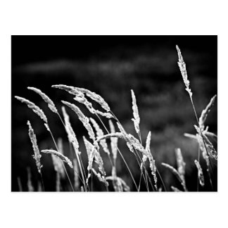 Wild grass in black and white postcard