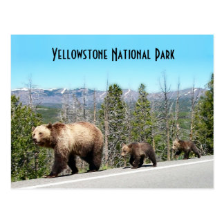 Wild Grizzly Bear Mama and Cubs in Yellowstone Postcard