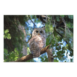 Wild Hoot Owl Staring in the Forest Photo Art