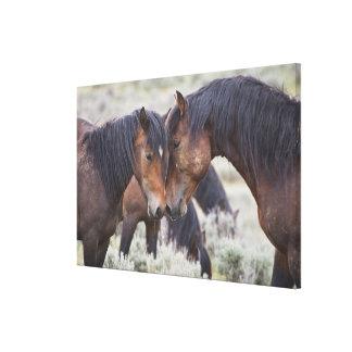 Wild Horses (Equus caballus) in sagebrush near Canvas Print