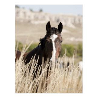 Wild horses in South Dakota Postcard