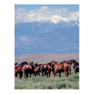 Wild Horses Out West Postcard