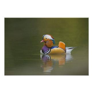 Wild Mandarin Duck Aix galericulata) on dark Art Photo
