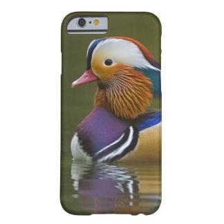 Wild Mandarin Duck Aix galericulata) on dark Barely There iPhone 6 Case