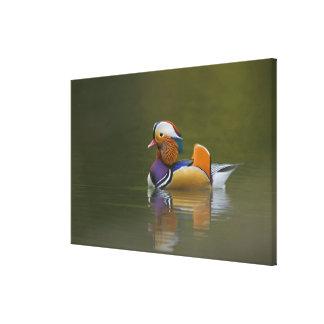 Wild Mandarin Duck Aix galericulata) on dark Canvas Print