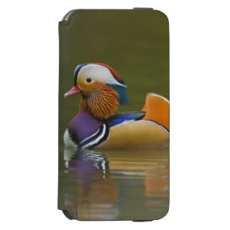 Wild Mandarin Duck Aix galericulata) on dark Incipio Watson™ iPhone 6 Wallet Case