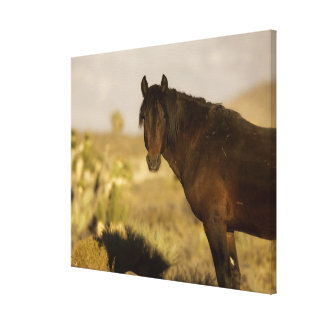 Wild Mustang stallion, Wheeler Peak herd, Cold Stretched Canvas Print