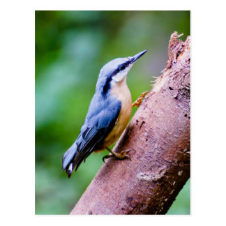Wild Nuthatch In The Woods  - Post card