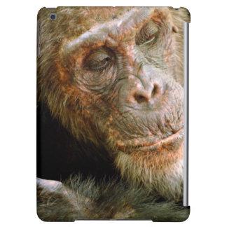 Wild Old Male Chimpanzee (Pan Troglodytes)
