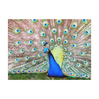 Wild Peacock California Gallery Wrapped Canvas