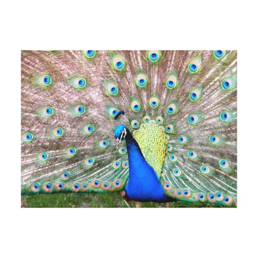 Wild Peacock, California Gallery Wrapped Canvas