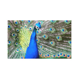 Wild peacock California Stretched Canvas Prints