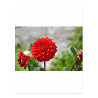Wild red Dahlia Postcard