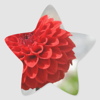 Wild red Dahlia Star Sticker