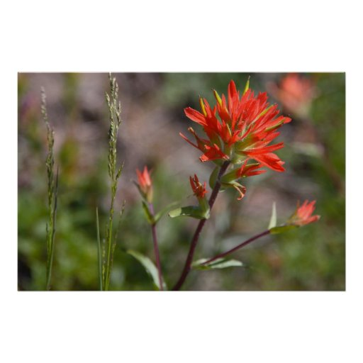 Wild Red Indian Paintbrush Flower Posters