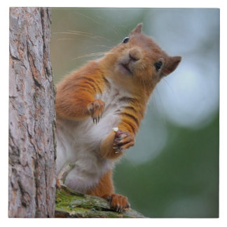 Wild Red Squirrel in the Scottish Highlands Photo Tile