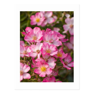 Wild Roses Postcard