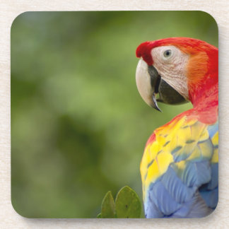 Wild scarlet macaw, rainforest, Costa Rica Beverage Coasters