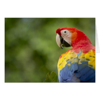 Wild scarlet macaw, rainforest, Costa Rica Card