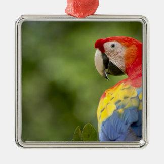 Wild scarlet macaw, rainforest, Costa Rica Christmas Ornament