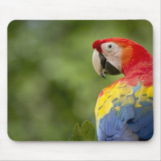Wild scarlet macaw, rainforest, Costa Rica Mouse Mat