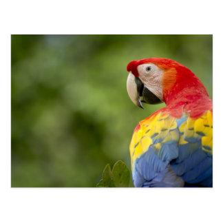 Wild scarlet macaw, rainforest, Costa Rica Postcard