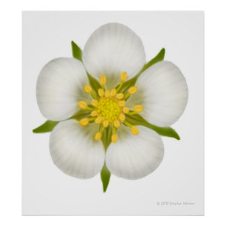 Wild Strawberry Flower Print