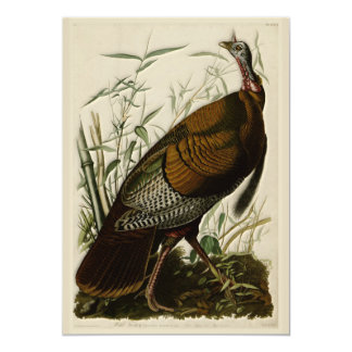 Wild Turkey by John Audubon Card