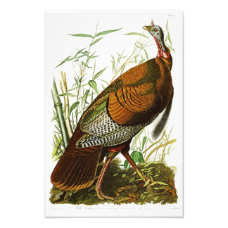 Wild Turkey John James Audubon Birds of America Photo Print