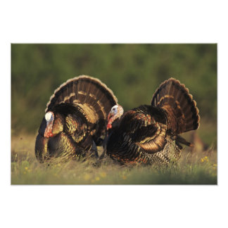 Wild Turkey, Meleagris gallopavo,males Art Photo