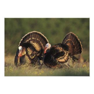Wild Turkey, Meleagris gallopavo,males Photo Print