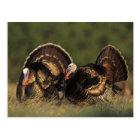 Wild Turkey, Meleagris gallopavo,males Postcard