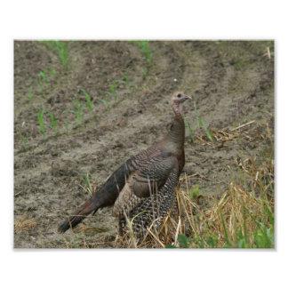 Wild Turkey, Photo Enlargement.