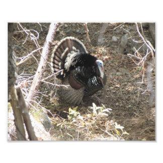 Wild Turkey Strutting for the Ladies Photo Print