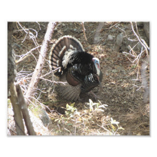 Wild Turkey Strutting for the Ladies Photo Print