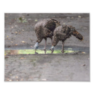 Wild Turkeys Drinking From Puddle Print
