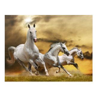 Wild White Horses Postcard