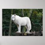 Wild White Wolf Poster