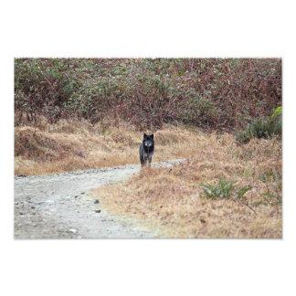 Wild Wolf Photo