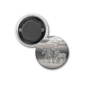 Wild Zebra Socialising in Africa 3 Cm Round Magnet