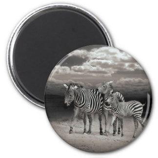 Wild Zebra Socialising in Africa 6 Cm Round Magnet