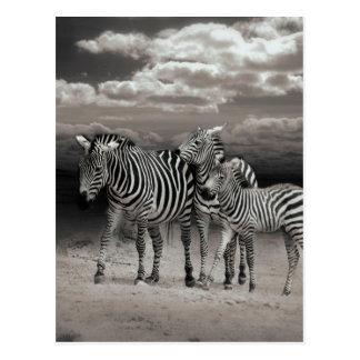 Wild Zebra Socialising in Africa Postcard