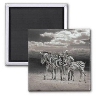 Wild Zebra Socialising in Africa Square Magnet