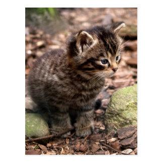 Wildcat Kitten Postcard