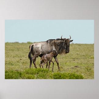 Wildebeest (Connochaetes) With Newborn Poster
